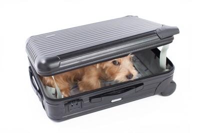 スーツケースの中に入ってこちらを見つめている犬