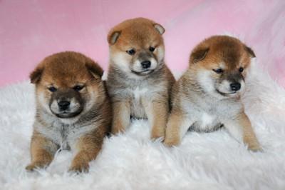三匹の柴小犬