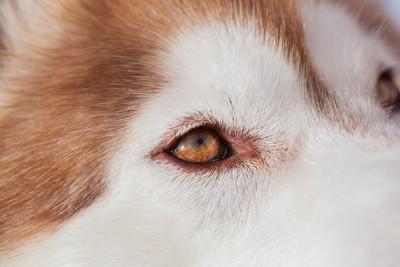 ハスキーの目のアップ(ブラウン)