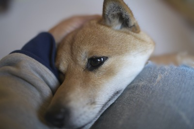 飼い主の膝に頭を乗せて甘える柴犬