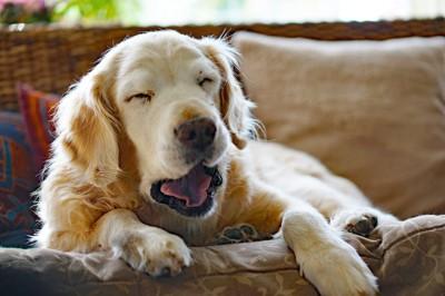ソファーであくびをしている犬