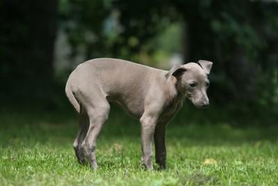 しっぽを丸め込む芝生にいるグレーの犬