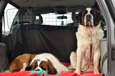 車の後ろでくつろぐ犬