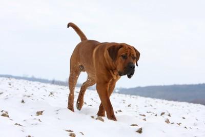歩いている土佐犬の写真