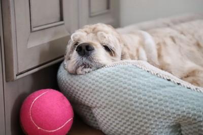 ベッドで落ち込む犬