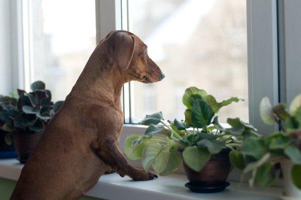 窓の外を見ているダックスフンド