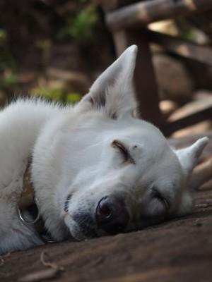 土の上で寝ているペコ