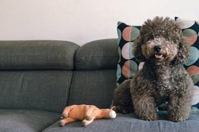 ソファーに座るトイプードル