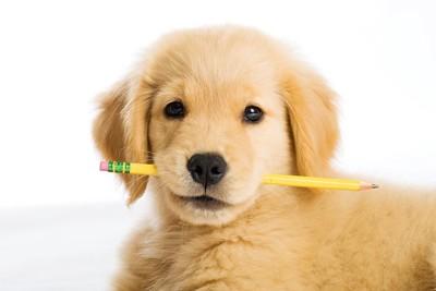 鉛筆をくわえたゴールデン・レトリーバーの子犬