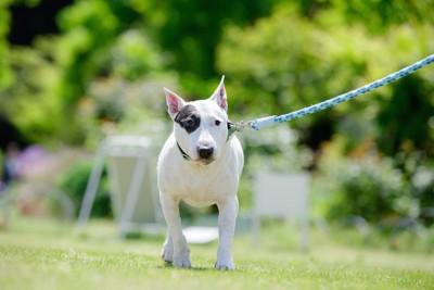 リードをつけて散歩している犬