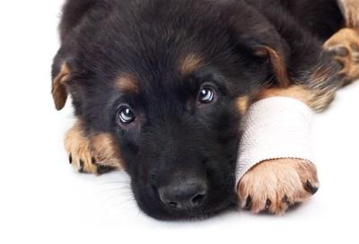 手をケガしている犬