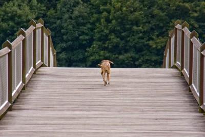橋の上を逃げる犬