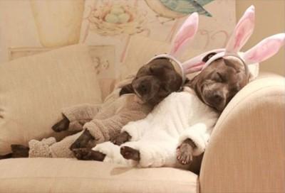 うさぎの耳をつけて寝る犬たち