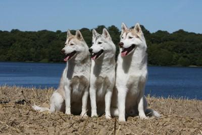 3頭のシベリアンハスキー