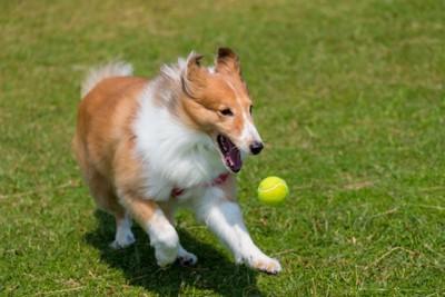 ボールで遊ぶシェルティ