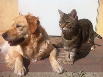 ゴールデンと猫