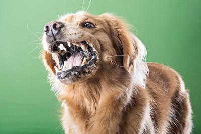 怒って吠える茶色の犬の顔