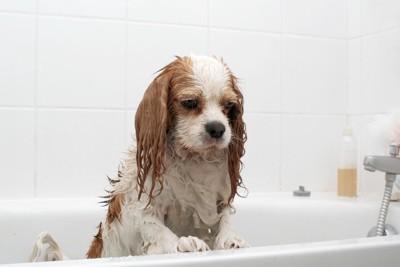 浴槽でしょんぼりしている犬