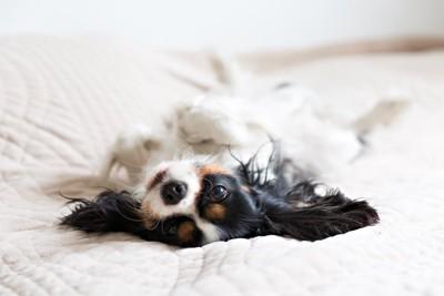 ベッドで寝てる犬