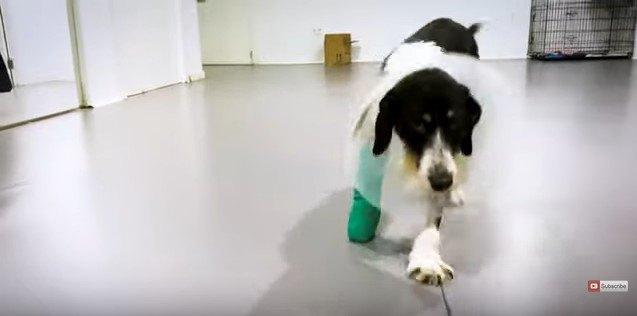 ギプスをして歩く犬