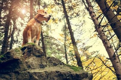 岩の上に立つビーグル犬