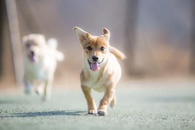 こちらに走って来る二頭の子犬