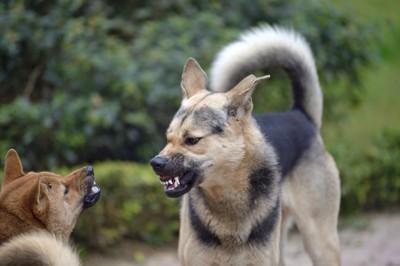 歯を剥き争っている2頭の犬
