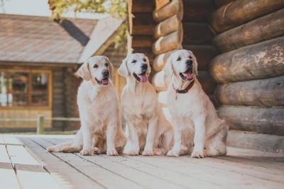 並んでいるゴールデンレトリバーの成犬