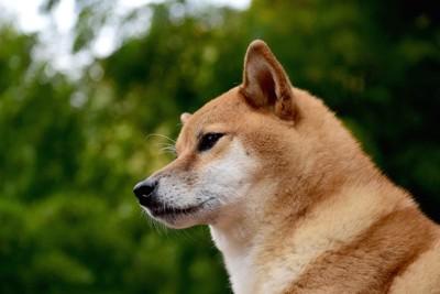 遠くを見つめる犬の横顔
