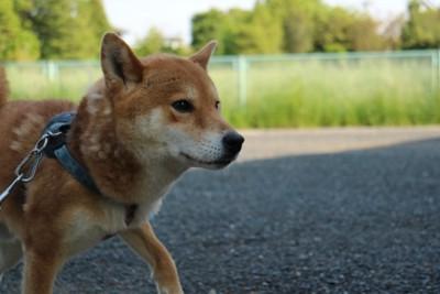 日陰 繋がれた柴犬 横向き アスファルト