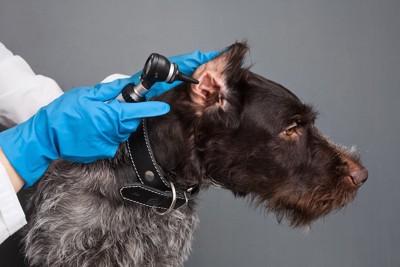 病院で耳の検査を受ける犬