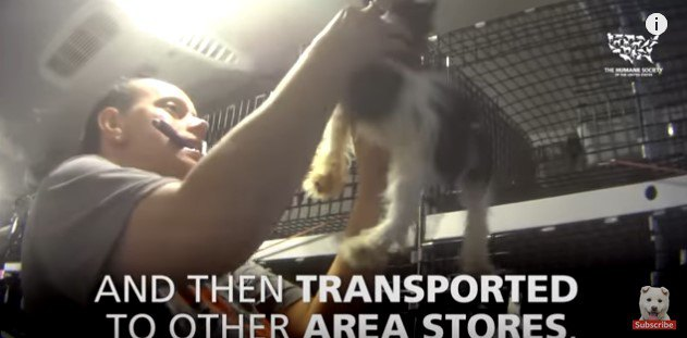 小犬工場から店舗へ多数の子犬のデリバリー