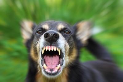 威嚇して牙をむく犬