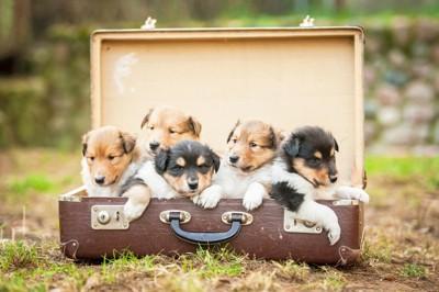 スーツケースに入ったラフコリーの子犬