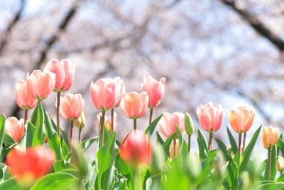 桜の背景に咲いているピンクのチューリップ