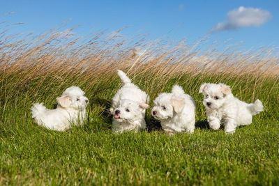 草むらで遊ぶ4匹のマルチーズの幼犬