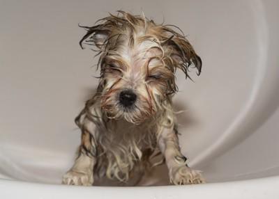 目をつぶっている茶色の濡れた子犬
