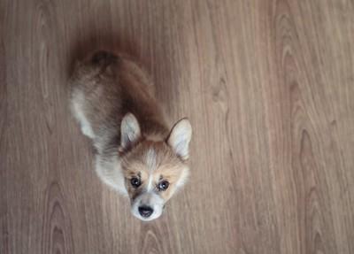 見上げている子犬