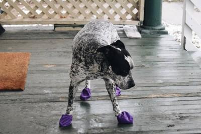 紫の靴を履く犬