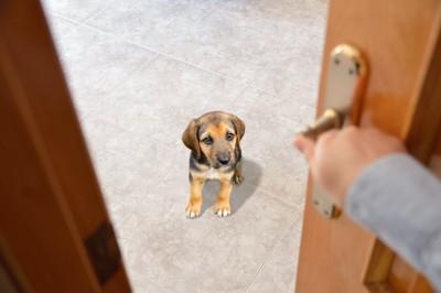 ドアを閉めようとする飼い主の手を見つめる仔犬