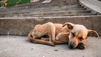 道路で眠るやせ細った犬