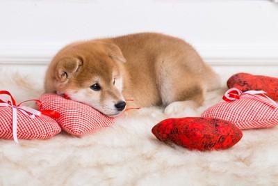 クッションと柴子犬