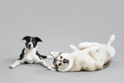 伏せているボーダーコリーと仰向けに寝転がるハスキー犬