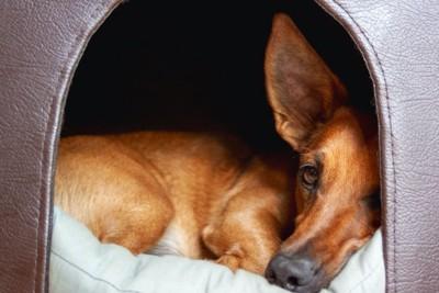 ハウスの中で丸くなる犬