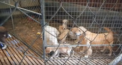 ゴールデンの子犬と母犬