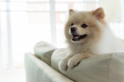 白いソファー、ポメラニアン