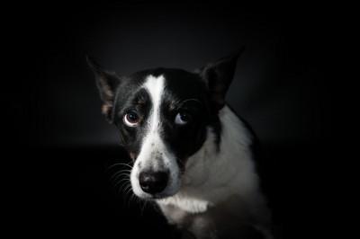 不安そうな表情をする白黒の犬、黒い背景