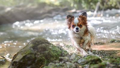 #川遊びする犬#