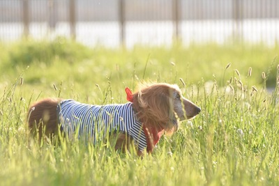 草むらに立つ洋服を着たダックスフンド
