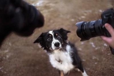 カメラにおびえるボーダーコリー